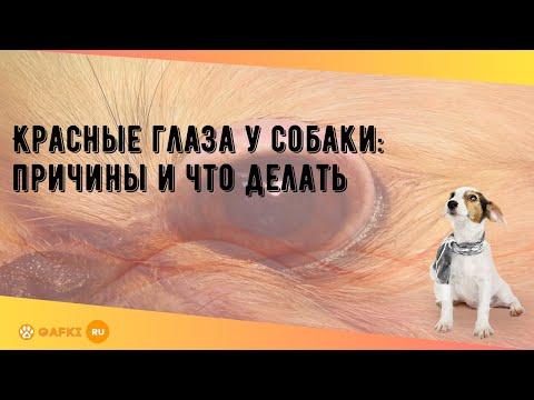 Красные глаза у собаки: причины и что делать