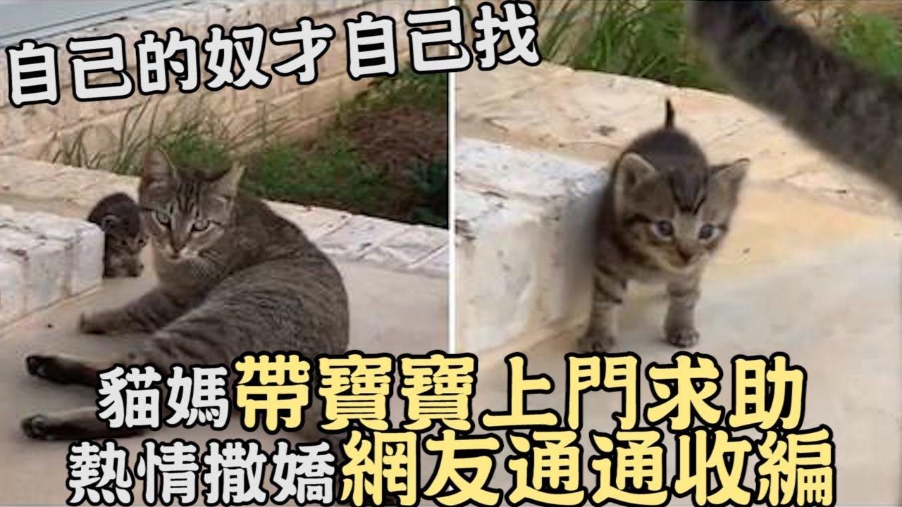 自己的奴才自己找,貓媽帶寶寶上門求助,熱情撒嬌網友:通通收編