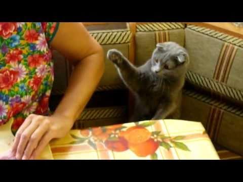 Британская вислоухая кошка хочет мяса!