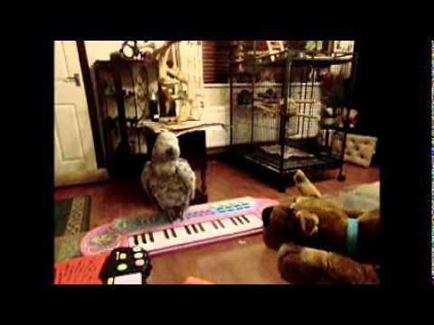 African Grey Parrot Billie Girl, Playing her keyboard..