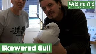 Gull impaled on skewer