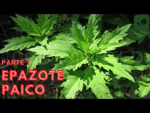 Epazote paico siembra crecimiento y cuidado parte 1 youtube - Como se planta el bambu ...