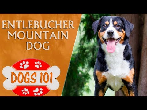 Dogs 101 - ENTLEBUCHER MOUNTAIN DOG - Top Dog Facts About the Entlebucher Mountain Dog