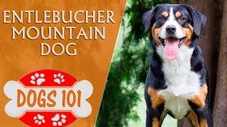 Dogs 101 - ENTLEBUCHER MOUNTAIN DOG - Top Dog Facts About the Entlebucher Mountain Dog