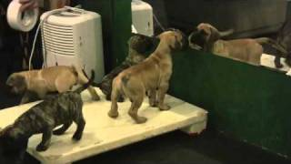Presa puppies at 8 weeks old