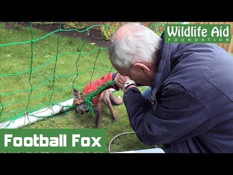 Fox cub trapped by football net