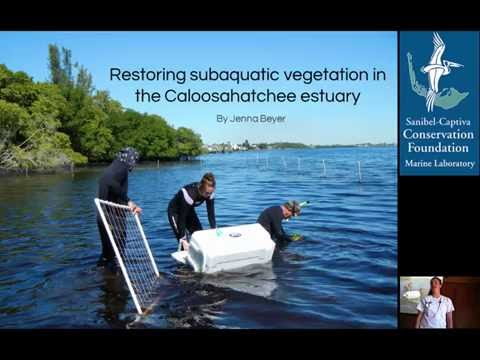 Restoring subaquatic vegetation in the Caloosahatchee estuary