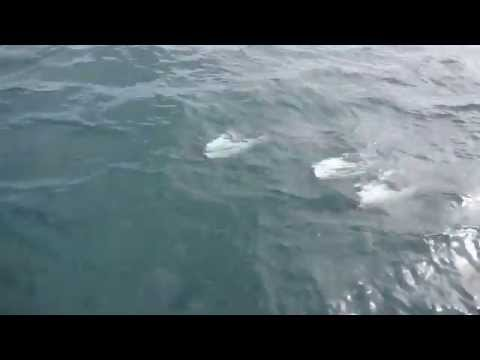 Commerson's Dolphins off the coast of Argentine Patagonia