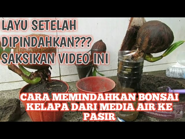Download Cara Memindahkan Bonsai Kelapa Media Air Ke Media Pasir