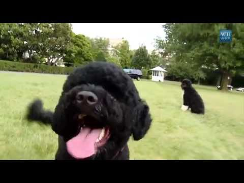 President Obama's Dog: Sunny The Portuguese Water Dog