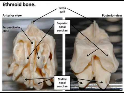 bones of the skull part 3 - ethmoid bone - youtube, Sphenoid