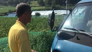 양배추밭 나비방제