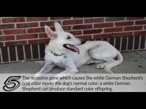 10 Facts about the white German shepherd - Germanshepherdsetc.com
