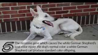 10 Facts About The White German Shepherd - Germanshepherdsetc.com