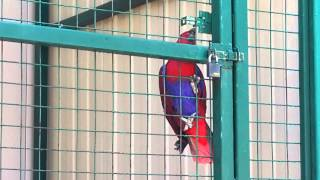 Попугай - взломщик