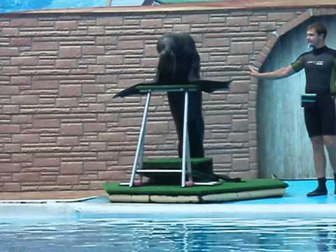 Морской котик танцует Сочи  дельфинарий.Navy seals sochi russia