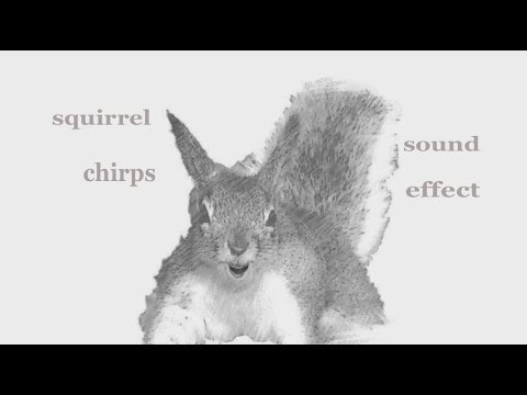 The Animal Sounds: Squirrel Kaibab Chirps - Sound Effect - Animation