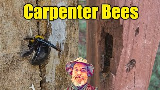 How to Control Carpenter Bees