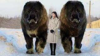 أضخم الكلاب في العالم , لن تصدق حجمها الحقيقي