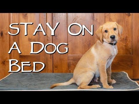 Labrador Retriever Teach Your Dog to Stay on a Dog Bed - Gun Dog Training