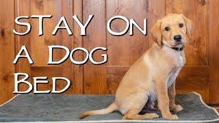 Labrador Retriever Teach Your Dog to Stay on a Dog Bed  Gun Dog Training