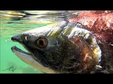 Amazing Journey - Fraser River Sockeye Salmon Run