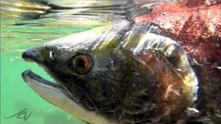 Amazing Journey - Fraser River Sockeye Salmon Run