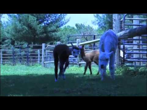 A Visit with Scotia Acres Alpacas