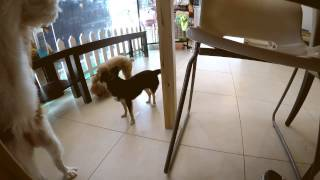 Amber Toy Poodle - Trip To Taz Cafe