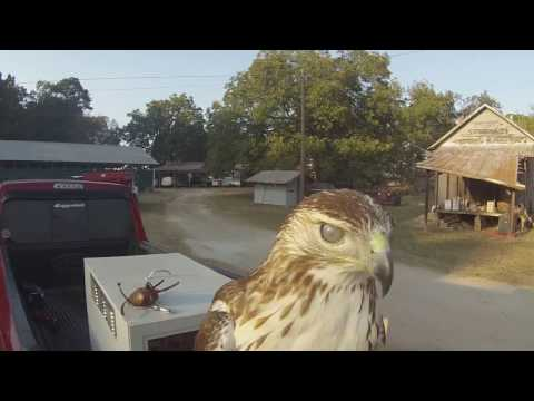 Squirrel Hawking with Redtail Hawks-Falconry