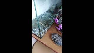 50. Как почистить аквариум красноухой черепахи. #помытьаквариум #уходзачерепахой #красноухаячерепаха