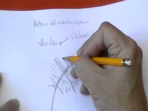 ANATOMIA 20 ARTERIAS DE MIEMBRO SUPERIOR 12  YouTube