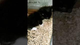Во сколько недель котята Мейн-куны уверенно ходят в лоток или  будни Мейн-куна Гоши.