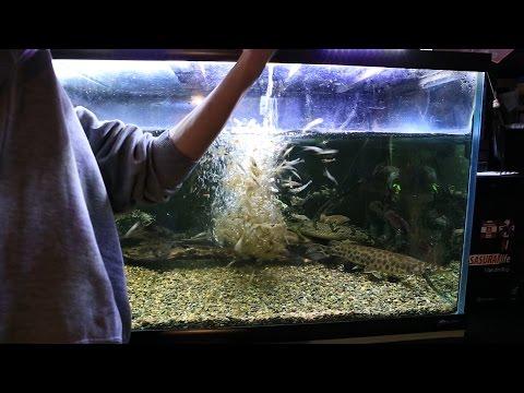 古代魚のために諏訪湖でエビ獲り