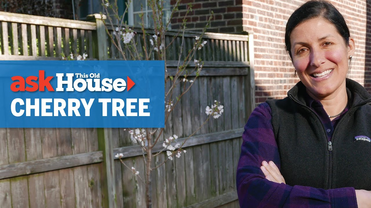 How to Plant a Cherry Tree | Ask This Old House