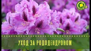 Уход за рододендроном секреты пышного цветения