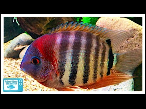 Severum Cichlid Care And Breeding: A Large Center Piece Fish!