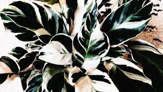 Como Cultivar Planta Maranta
