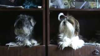собаки: ши-тцу и цвергшнауцер