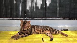 Mr: QUYN - Mèo Bengal - 01268 688 688