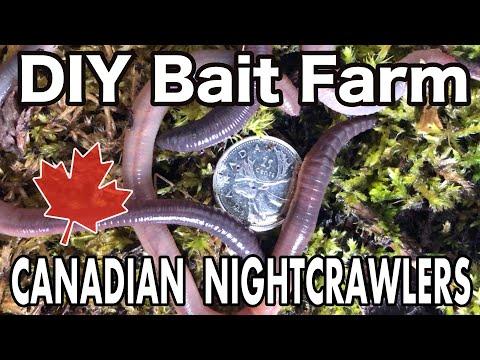 Raising Canadian Nightcrawlers At Home | DIY Dew Worm Farm