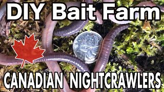 Raising Canadian Nightcrawlers At Home Diy Dew Worm Farm Youtube