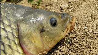 Balıq ovu sazan ovu sazan yemi охота на карпа carp fishing