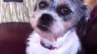 Gizmo, Shih Tzu X Terrier Available For Adoption