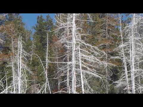 White Trees from geysers spray .Yellowstone national park.