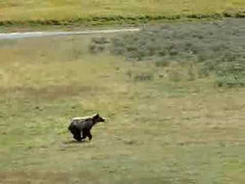 Bear runs across road in Yellowstone National Park
