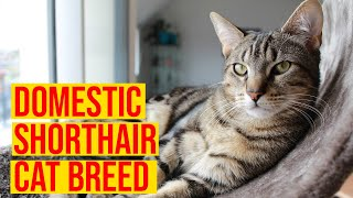 Domestic Shorthair Cat Breeds Interesting Facts/ All Cats