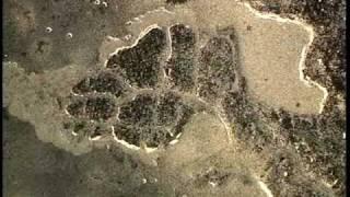 科学映像館 目で見る生命 細胞性粘菌1・The life of cellur slime moid