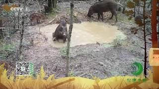 《秘境之眼》 野猪 20200117  CCTV