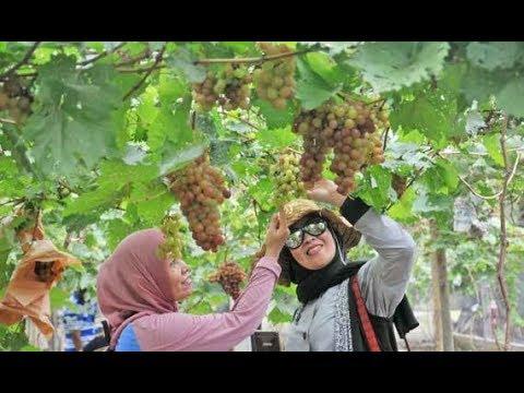 87 Gambar Anggur Cbr Kekinian